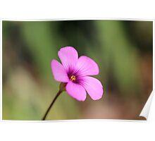 An Oxalis Spring! Poster