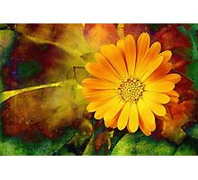 October Zinnia Photographic Print