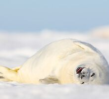 Baby Seal  by Remo Savisaar