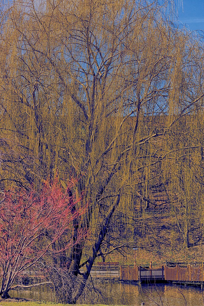 HDR Willow Tree by StonePhotos