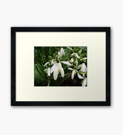 SNOWDROPS ART/ CARDS/ PHONE CASE Framed Print