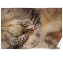 Maine Coon Sleeping Poster