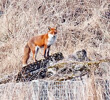 Red Fox by M.S. Photography & Art