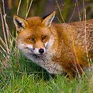 fox in the grass by brett watson