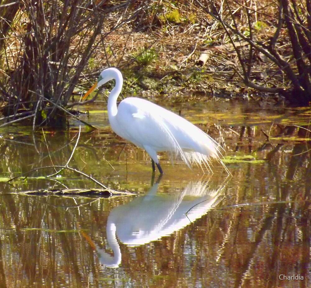 Great White Egret, Alabama's Most Popular Heron by Charldia