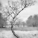 Curved Silver Birch by Robin Whalley