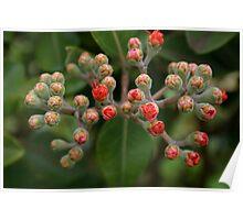 'Ohia Blossom Poster