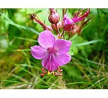 Sticky Geranium (available in ipod, iphone, & ipad cases) Photographic Print