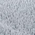 Snowy Trees Aspen, CO by Toby Harriman