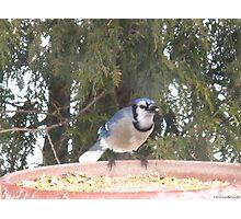Blue Jays...strike one! Photographic Print