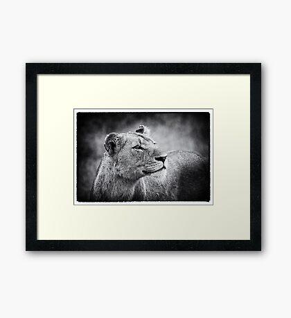 Lioness In Wait Framed Print