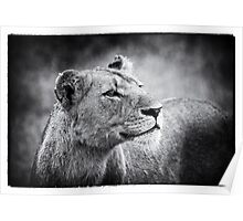 Lioness In Wait Poster