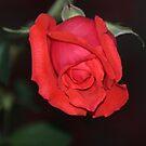Rose by Bob Hardy
