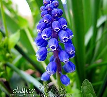 grape hyacinths  by LoreLeft27