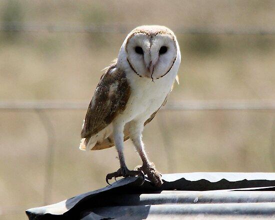 Eastern Barn Owl Tyto javanica  Canberra  by Kym Bradley