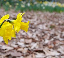 Daffodils to the fore (and aft) by Morag Anderson