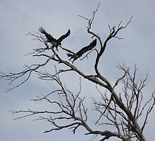2 wedge-tailed eagles - flying off by gaylene