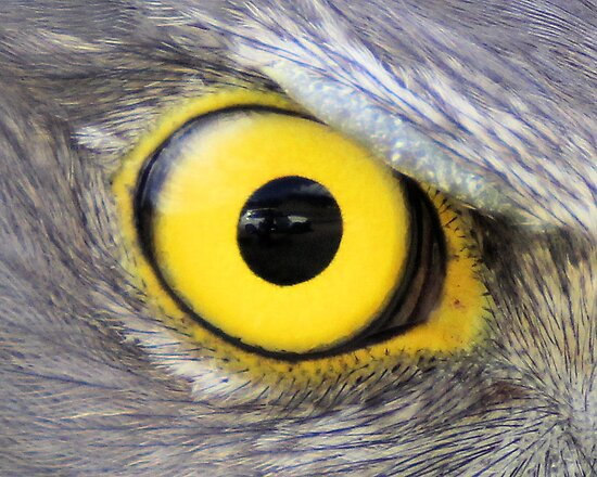 View in the eye of a goshawk pupil by Kym Bradley