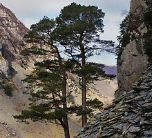 Pine and stone by Kevin Allan