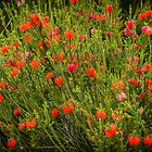 Beaufortia Squarrosa (Sand Bottlebrush) #2 by Elaine Teague