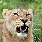 Lioness by Norma Cornes