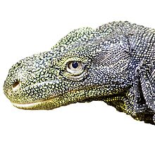 Crocodile monitor by Norma Cornes