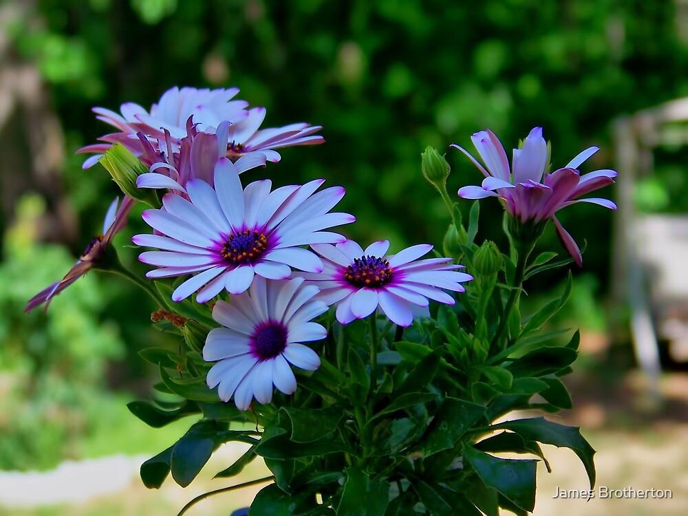 Purple Osteospermum by James Brotherton