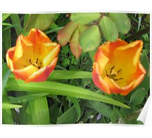 Tulips 2 Toned Red Yellow Poster