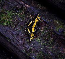Black and yellow swallowtail butterfly by Andicurrie