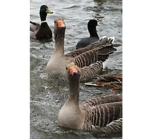 Curious Geese Photographic Print