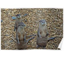 Otters waiting for their dinner Poster