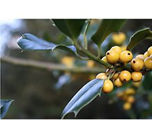 Yellow Holly Berries Photographic Print