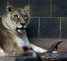 Lioness  by Jennifer Totten