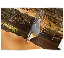 Nuthatch I Poster
