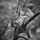 Hungry Chipmunk by Reese Ferrier