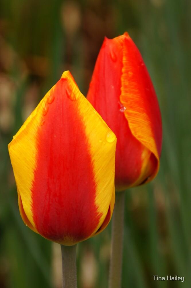 Tulip Buds by Tina Hailey