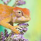 dwarf fishers chameleon by Angi Wallace