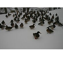 ducks in winter Photographic Print