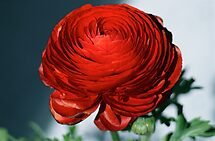 Red by autumnwind