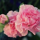 Carnation by anchorsofhope