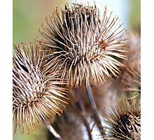 Thistle Seedheads Photographic Print