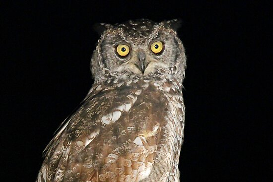 A spotted eagle owl by jozi1