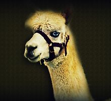 A Different Kind Of Alpaca by Evita