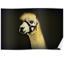 A Different Kind Of Alpaca Poster
