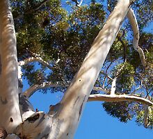 Peeping Parrot In The Big White Gum - 17 03 13 by Robert Phillips