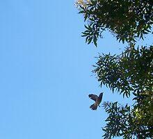 Honeyeater Climbing - 17 03 13 by Robert Phillips