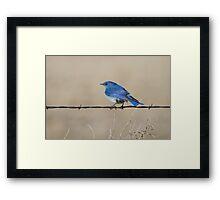 Mountain Bluebird: Fence Line Framed Print