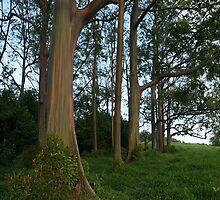 Rainbow Eucalyptus by AmishElectricCo