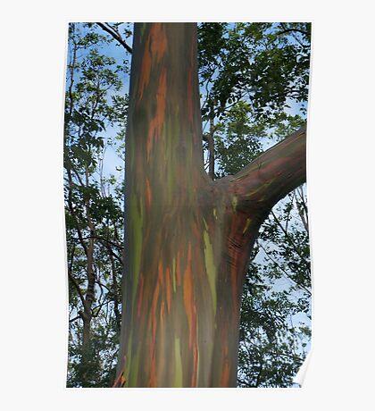 Rainbow Eucalyptus #2 Poster