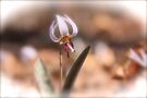 Woodland Trout Lily by NatureGreeting Cards ©ccwri